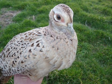 Hen pheasant with PERDIX necklace VHF radio transmitter.