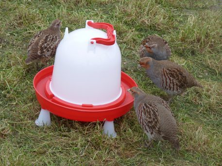 Grey Partridge using drinker