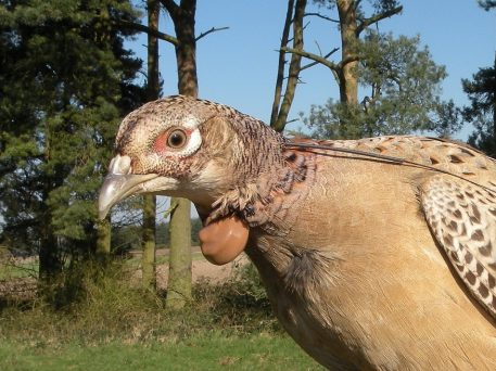 Hen pheasant being fitted with a PERDIX VHF tracking transmitter