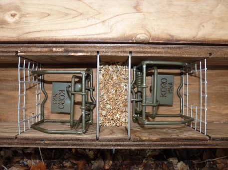 Koro rodent traps set for rats in Perdix rat trapping tunnel