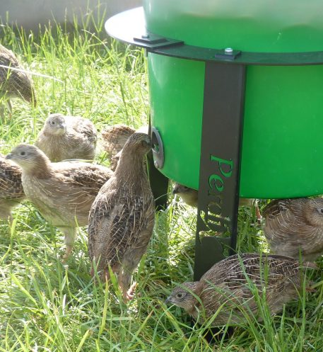Partridge Covey Feeding from PERDIX Farmland Feeder in stand