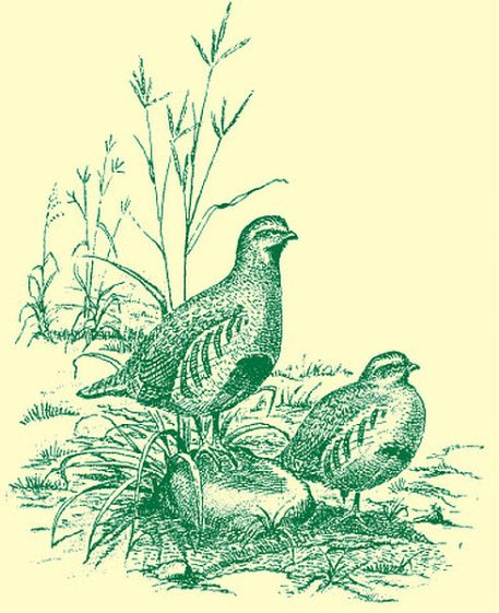 Illustration of breeding pair of Grey Partridges in corner of signs