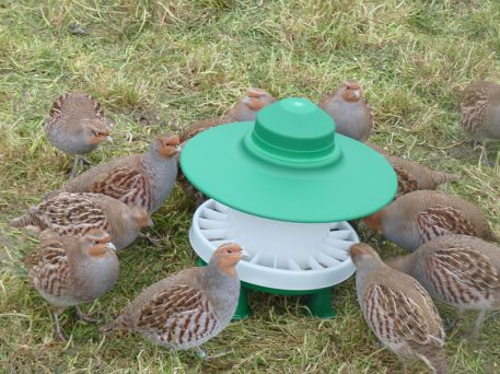 Partridges feeding from Ascot outdoor feeder