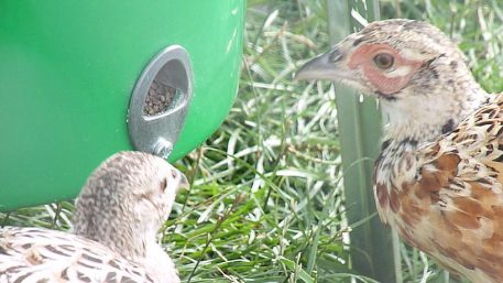 Pheasants feeding from PERDIX Gamebird Feeder