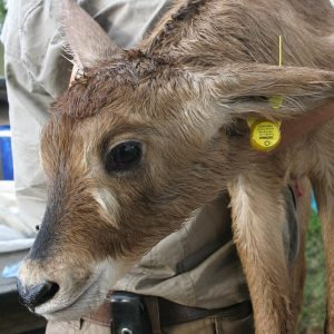 PERDIX Custom VHF tracking transmitters - Ear Tag Transmitter on Roan calf in South Africa