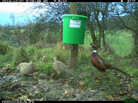 Pheasants feeding at PERDIX Game bird feeder