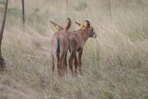 Two Roan Calves
