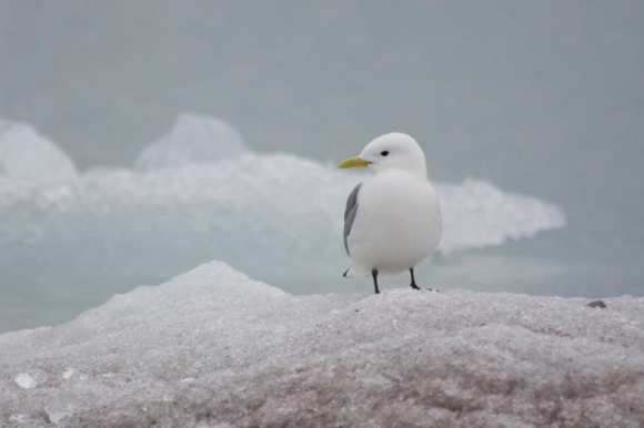 kittiwake standing on ice