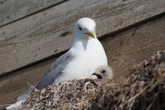 kittiwake in nest with baby bird