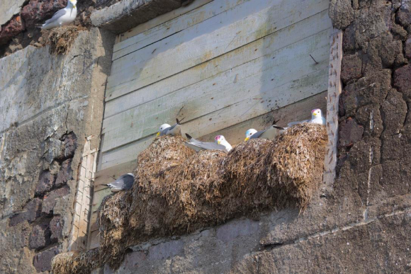 kittiwake birds in nest